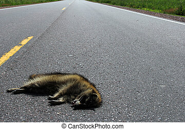 Raccoon roadkill on a rural highway - Raccoon roadkill...
