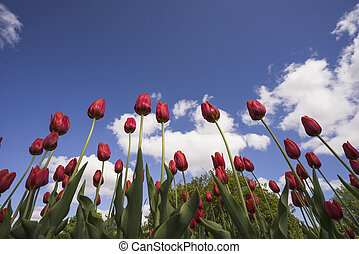 Red tulips on a blue sky background.