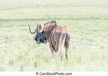 Black wildebeest, also called a white-tailed gnu - A black...