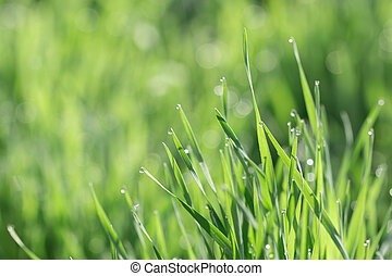 Fresh morning dew on spring grass, natural background