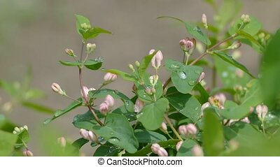 bush in the rain drops with pink flowers slow motion video -...