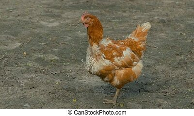 red chicken walking on the ground slow motion video - red...