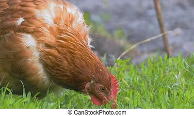 bite the grass close up chicken slow-motion video - green...