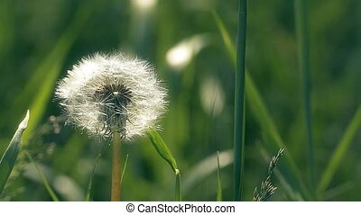 fluffy dandelion swaying in the wind slow motion video - in...