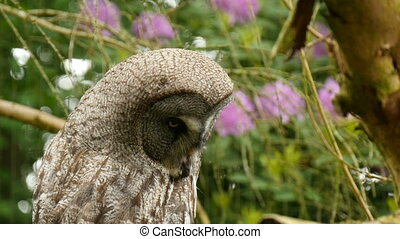 Great grey owl closeup - Great grey owl Strix nebulosa...