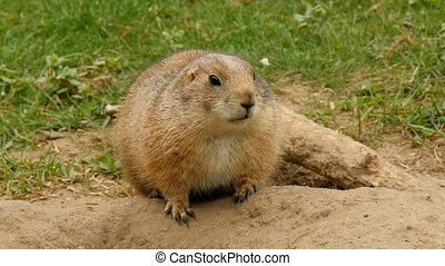 Black-tailed prairie dog in alert closeup