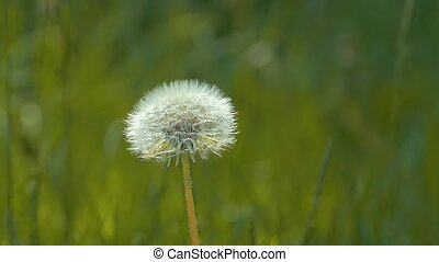 White dandelion slow motion video - fluffy white dandelion...