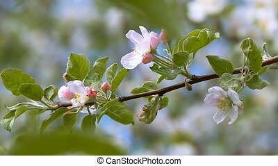 swinging on a branch of apple flowers slow motion video -...