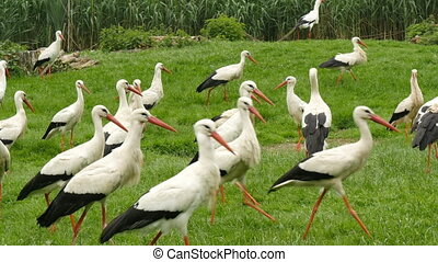 Large group of white storks on a meadow
