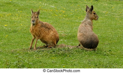 Couple of maras on a meadow - Couple of maras (Dolichotis...