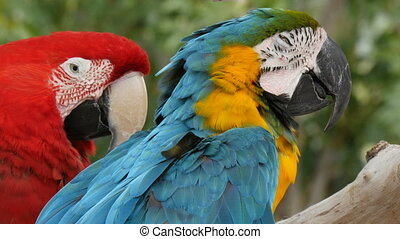 Scarlet macaw and blue-and-yellow macaw (Ara ararauna)...