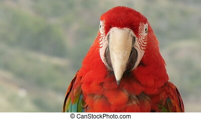 Scarlet macaw extreme closeup