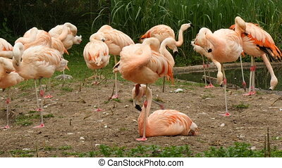 group of greater flamingo Phoenicopterus roseus