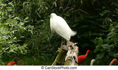 little egret Egretta garzetta sitting on a trunk