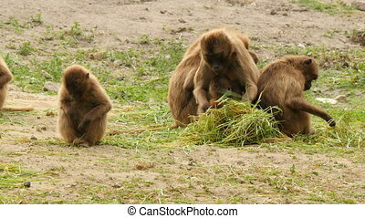 Gelada monkey family eating - Gelada monkey family...