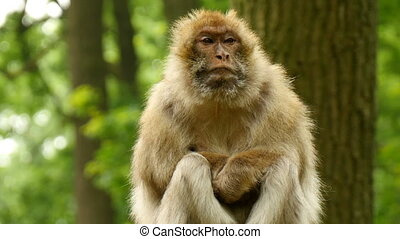 macaque monkey in wood closeup