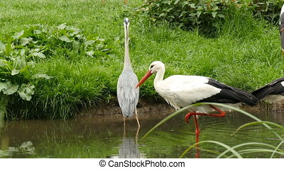 Stork and great egret drinking at a pond