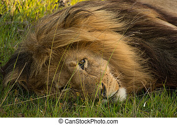 Watchful - Adult lion keeps a watchful eye as he rest under...