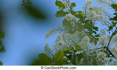 Flowers bird cherry swing slow motion video - against the...