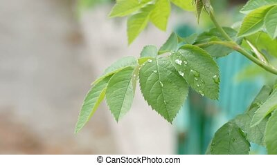 green leaves with drops of water rock slow motion video -...