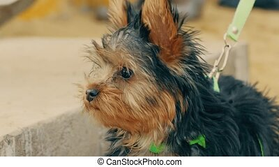 funny little dog terrier dog slow motion video - small...