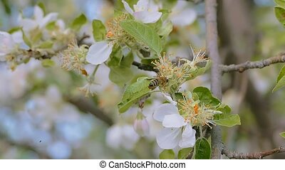 the bee crawling on apple tree flower slow motion video -...