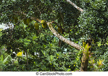 Jackfruit, La Digue, Seychelles - Lots of Jackfruits on a...