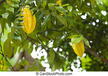 Carambola, La Digue, Seychelles - Carambola, also known as...