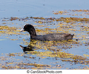 Eurasian coot on water - Eurasian coot (Fulica Atra) on...