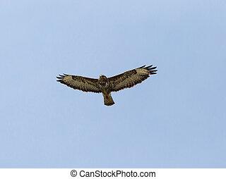 Hawk gliding on blue sky background - Hawk gliding on clear...