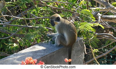 vervet monkey Chlorocebus pygerythrus in Saint Martin
