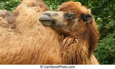 Bactrian camel (Camelus bactrianus) closeup