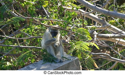 vervet monkey eating - vervet monkey Chlorocebus pygerythrus...