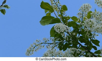 against the sky flower of bird cherry slow motion video -...