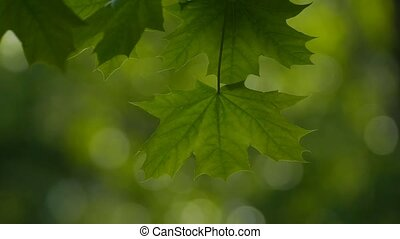 close-up of a maple leaf slow motion video - close up of a...