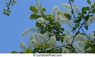 Flowers bird cherry against the sky on a slow motion video -...