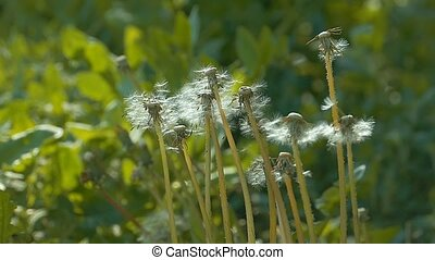 from the wind swinging fluffy dandelions slow motion video -...