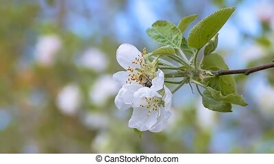 the bee flies from flower apple treeslow motion video -...