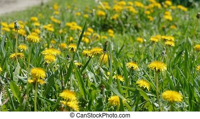 dandelions in the green grass slow motion video - yellow...