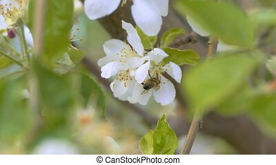 bee pollinates a flower slow motion video - bee pollinating...