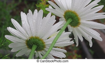 Big white camomile closeup - Flowers big white camomile...