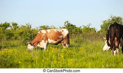 Cows grazing in the meadow - herd of cows grazing in a...