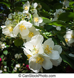 Philadelphus coronarius flowers - Beautiful white flowers of...