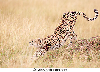 Cheetah (Acinonyx jubatus) in savannah - Cheetah (Acinonyx...