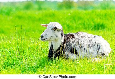 goat grazing in a meadow