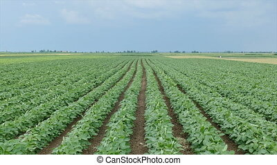 Soybean field, early summer - Green cultivated soy bean...