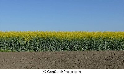 Rapeseed plants in field zoom out - Oil rape, canola plants...