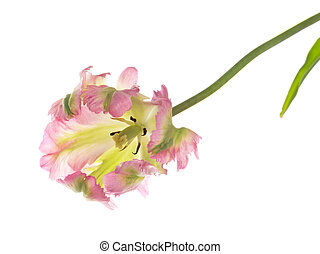 beautiful pink and green variegated tulip - beautiful...