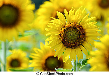 Sunflower or Helianthus Annuus in the farm - Many yellow...