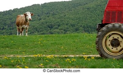Cow on green meadow and red tractor on a country road